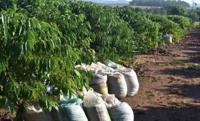 Produção de café em Cerejeiras. Área pequena, mas renda boa. (Foto: Divulgação/Emater)
