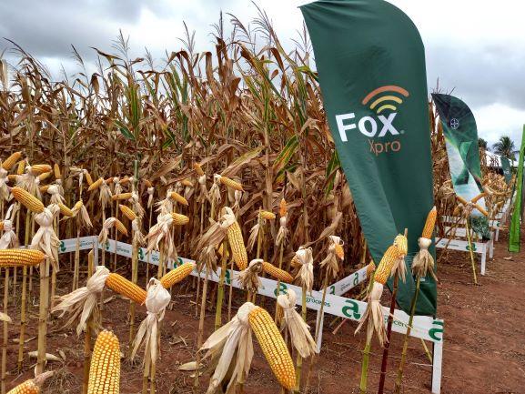 Exposição de semente de milho em evento dedicado ao grão em Cerejeiras. Pesquisas científicas têm ajudado a elevar a produtividade do cereal. (Foto: Rildo Costa)