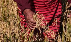 Indígenas se organizam para montar cooperativa e expandir produção agrícola