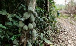 Cooperativa indígena Paiter Suruí é a primeira em Rondônia a receber Selo Nacional da Agricultura Familiar