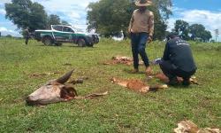 CEREJEIRAS: Ladrões invadem sítio, matam e roubam carne de novilha, deixando cabeça e vísceras para trás