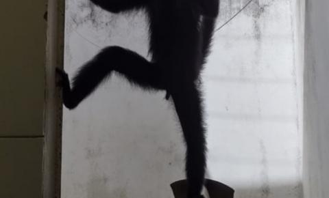 Macaco ameaçado de extinção que foi resgatado após 20 anos acorrentado se prepara para se juntar à espécie