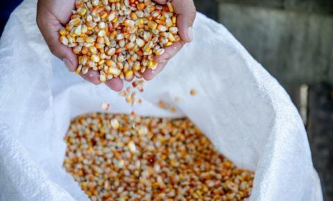 Rondônia espera aumento na produção do milho em 2021; previsão é de resultados satisfatórios na colheita