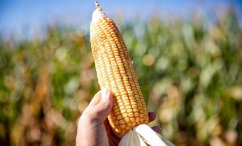 Área de cultivo do milho 2ª safra está 7,5% maior em Rondônia
