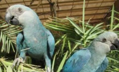 Filhotes de ararinhas-azuis nascem no Brasil após 20 anos de extinção