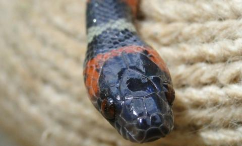 Serpentes mais perigosas do Brasil são encontradas em residenciais de Porto Velho