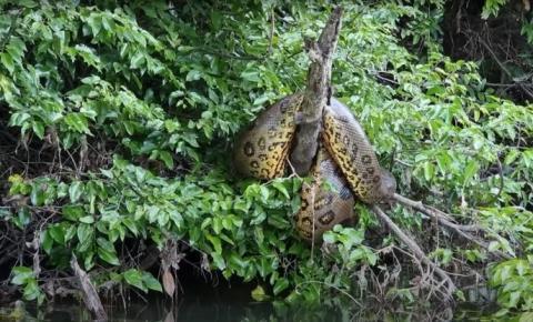 VIDEO: Sucuri gigante é flagrada por pescador em cima de árvore em rio de Rondônia